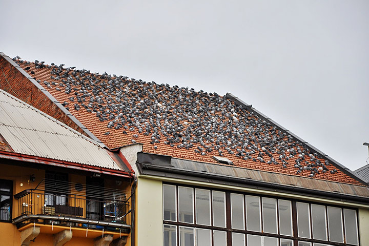 A2B Pest Control are able to install spikes to deter birds from roofs in Gospel Oak.